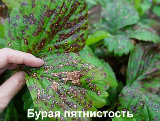 Бурая пятнистость листьев клубники