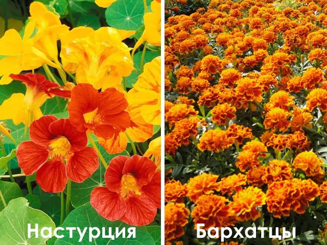 Бархатцы и Настурции для профилактики нематоды на садовой землянике