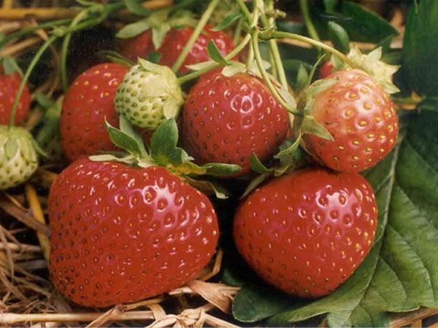 Плоды садовой земляники Полька