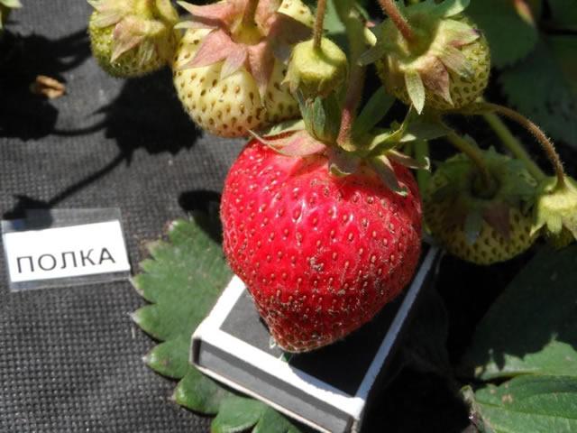 Крупная ягода клубники Полька