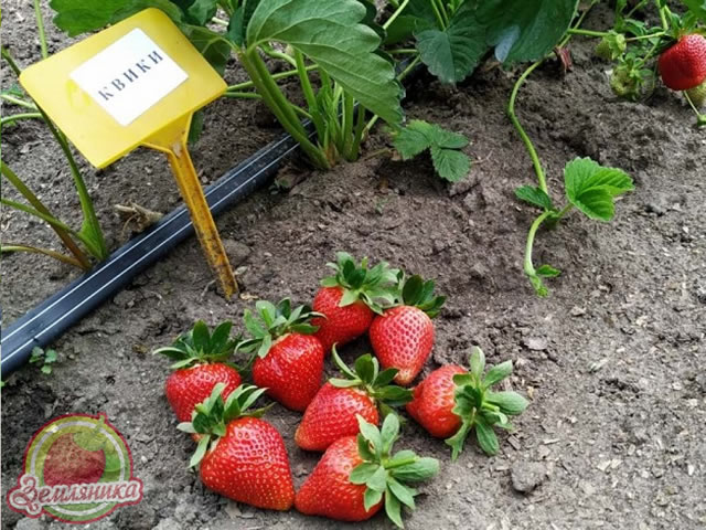 Крупные ягоды клубники Квики