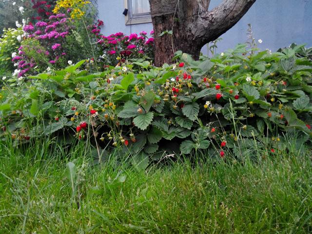 Плодоносящие кусты земляники Руяна