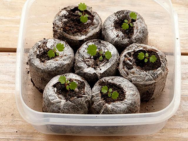 Посадка земляники семенами в торфяные таблетки