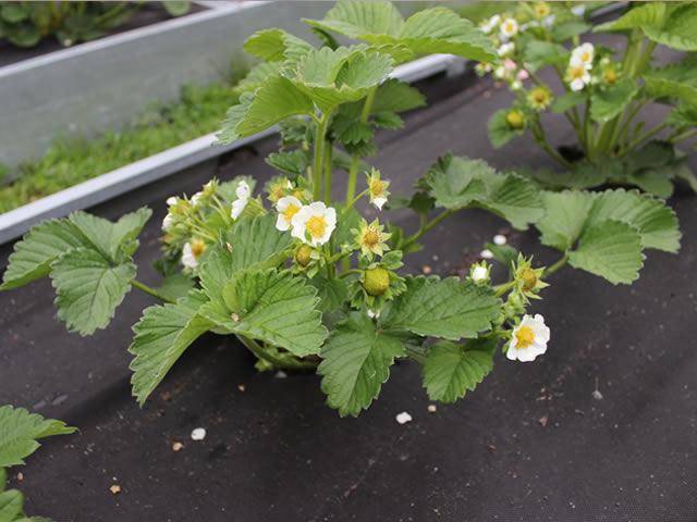 Цветущий куст садовой земляники Сенсация