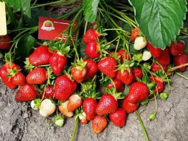 Плодоношение садовой земляники Эми