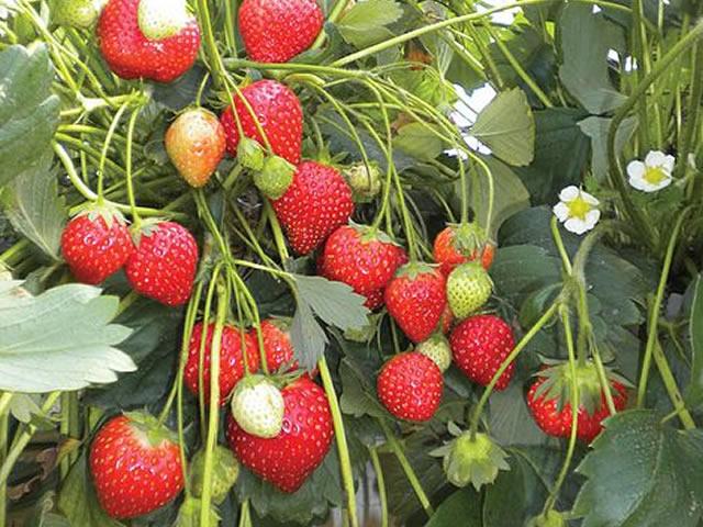 Плодоносящий сорт садовой земляники Anais