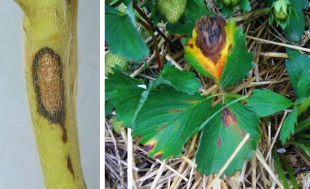 Антракноз на стеблях и листьях клубники
