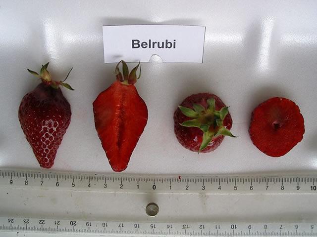 Ягода Белруби в разрезе