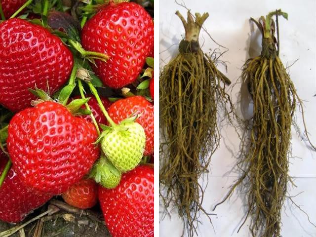 Клубника сорт Бравура: ягоды и рассада фриго