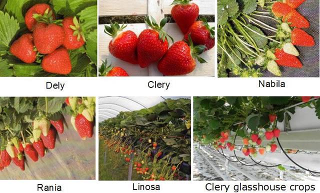 Сравнение ягод клубники разных сортов