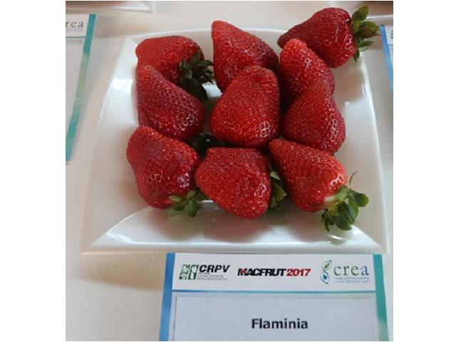 Крупные плоды клубники Фламиния