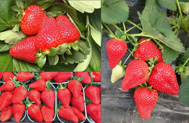 Спелые ягоды садовой земляники Фламиния