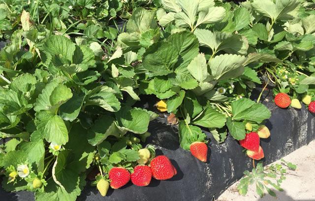 Плодоносящие кусты клубники Флорида Бьюти