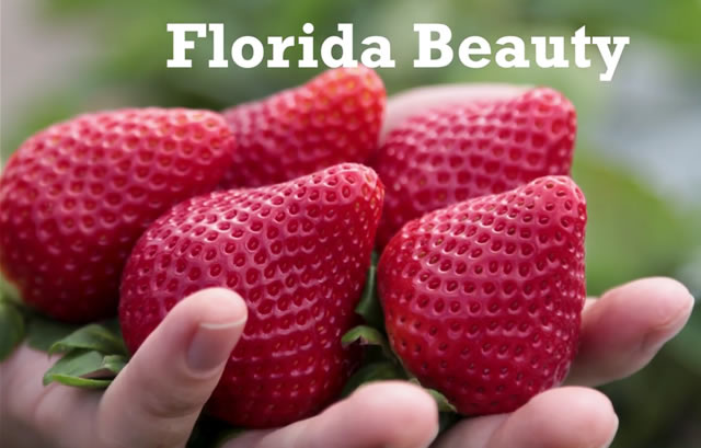 Клубника сорт Флорида Бьюти