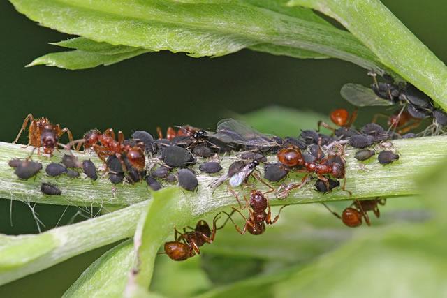 Тля и муравьи на садовой землянике