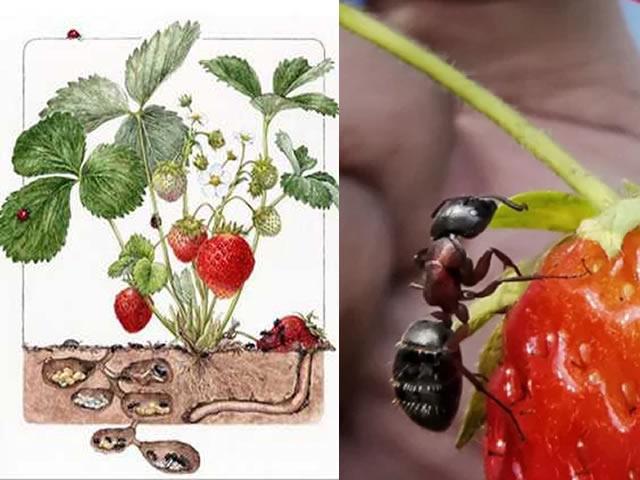 Схематичное изображение вреда муравьев для клубники