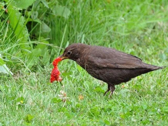 Защита клубники от птиц