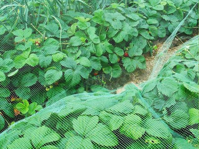 Защитная сетка на клубнике от птиц