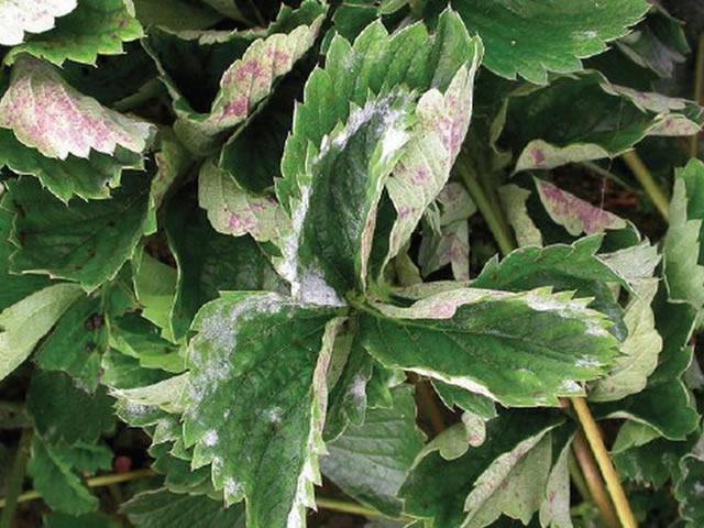 Поражение листьев клубники мучнистой росой