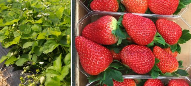 Кусты и ягоды клубники Сибилла