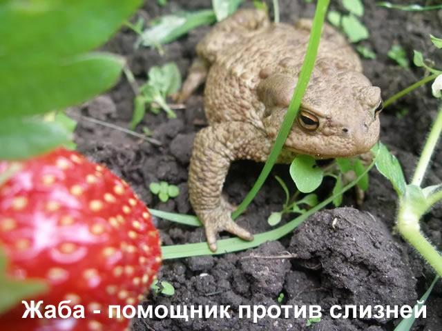 Жаба поедает слизней