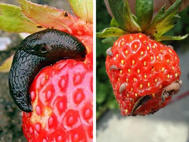 Поражение ягод клубники слизнями