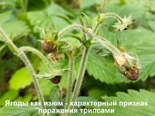 Признаки поражения клубники трипсами