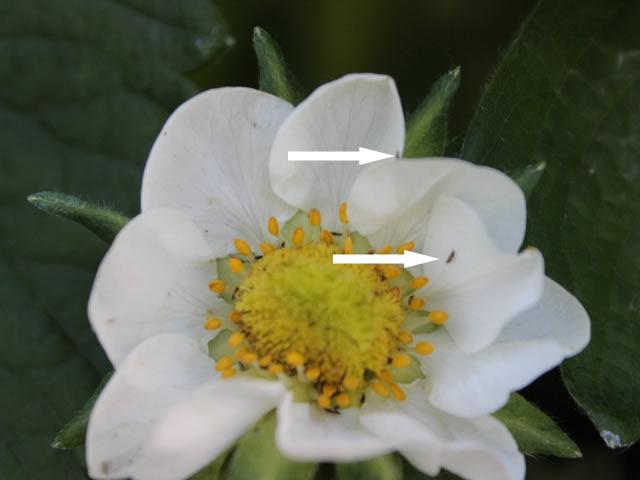 Трипсы на цветке клубники