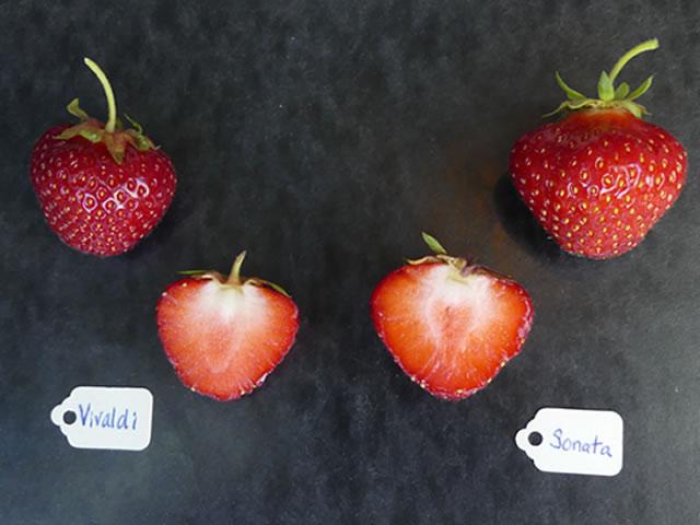 Ягоды садовой земляники Вивальди в сравнении с клубникой Соната