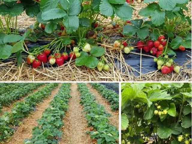 Плодоносящие кусты садовой земляники Аллегро
