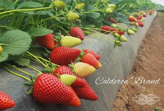 Плодоносящие кусты клубники Кальдерон