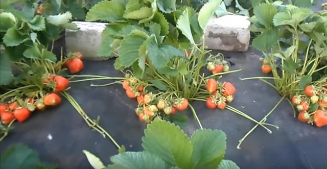 Плодоносящие кусты сорт Хепил