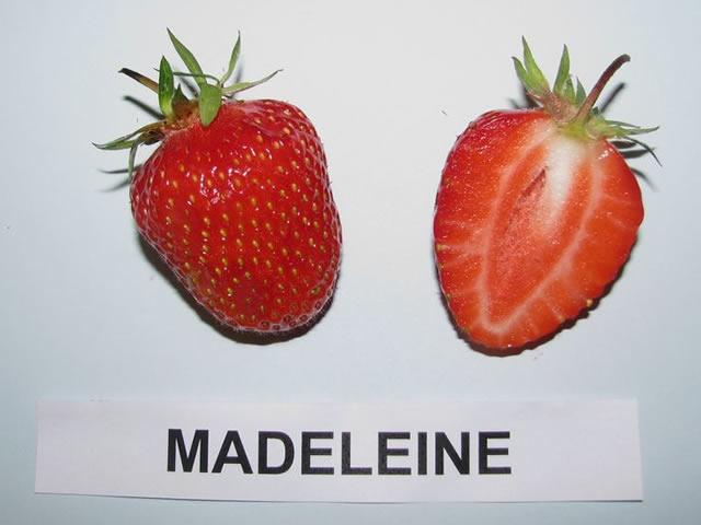 Ягода клубники сорт Маделайн в разрезе