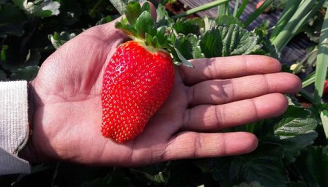 Крупная ягода клубники Набила