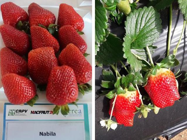 Ягоды и плодоносящий куст клубники Набила