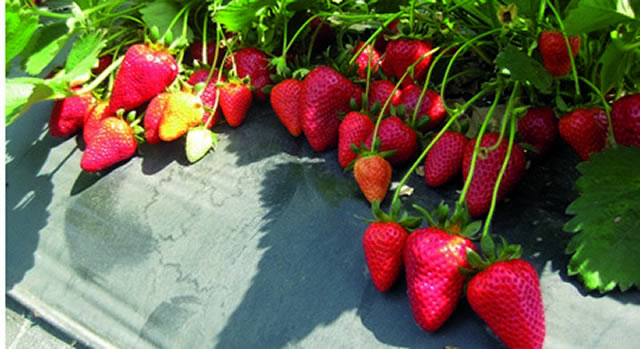 Плодоносящие кусты клубники Nandi