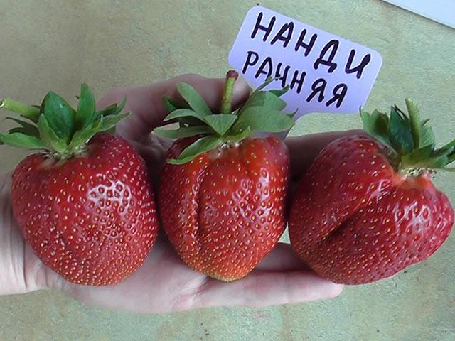Крупные плоды садовой земляники Нанди