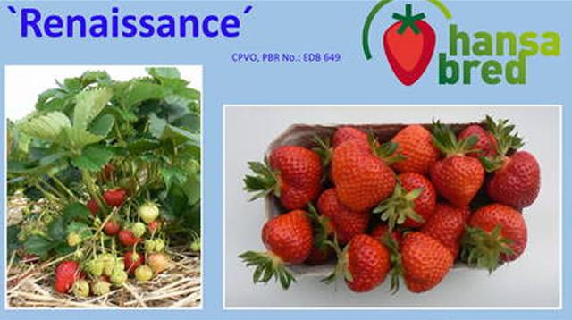 Плодоносящий куст и ягоды немецкой клубники Ренессанс