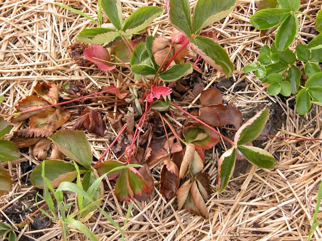 Сохнут листья клубники