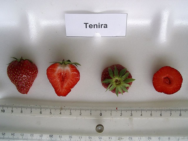 Ягода садовой земляники Тенира в разрезе