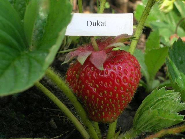 Крупная ягода клубники Дукат