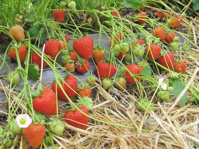 Плодоносящие кусты клубники Кристин
