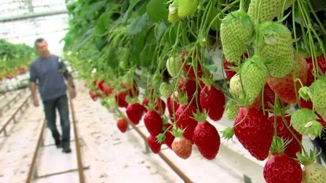 Плодоносящие кусты клубники сорт Гаригуэтта