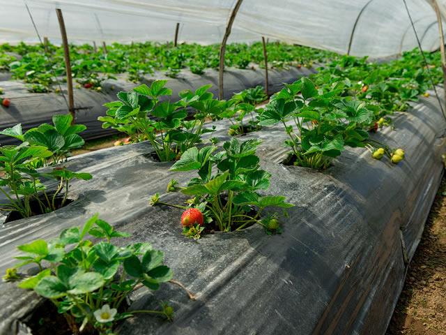 версия дает как лучше посадить клубнику фото цветов могут быть