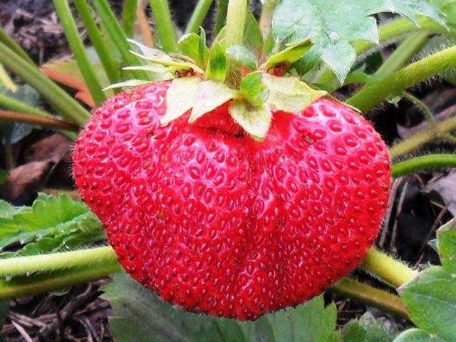 Крупный плод клубники Лорд