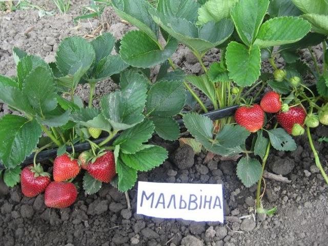 Плодоносящие кусты клубники Мальвина