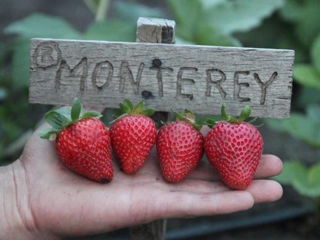 Плоды клубники сорт Монтерей
