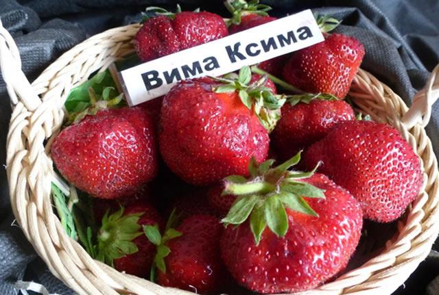 Урожай клубники  Вима Ксима