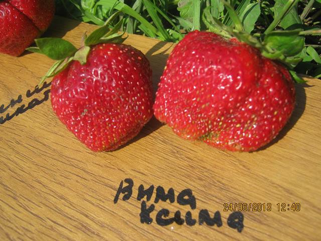 Крупные плоды садовой земляники Вима Ксима