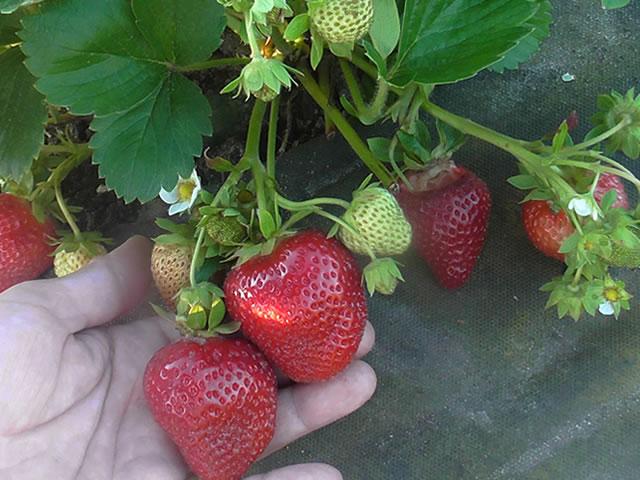 Плодоносящий сорт садовой земляники Фурор